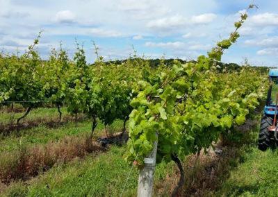 Buzzard's Valley Vineyard